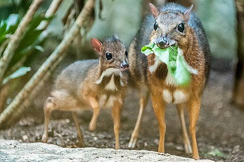 Mouse deer 1