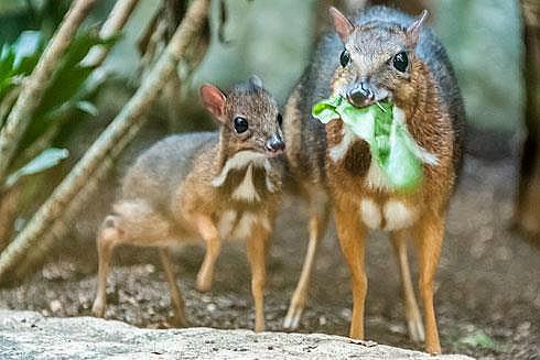 Mouse Deer - ZooBorns