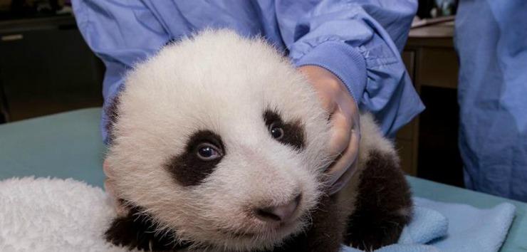 Panda cub side 740