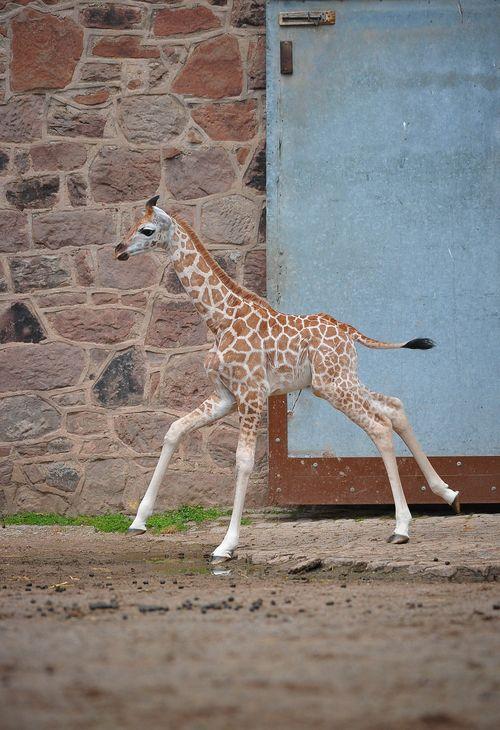 BabyGiraffe-7