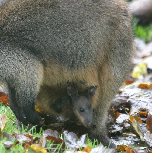 Wallaby 4 meh