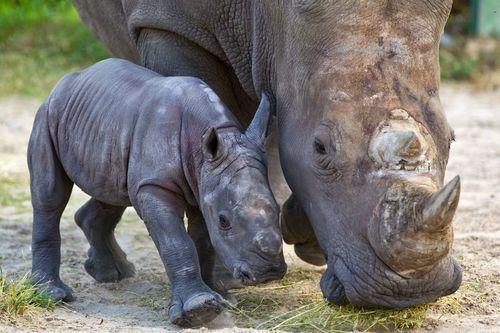 Rhino mom CU