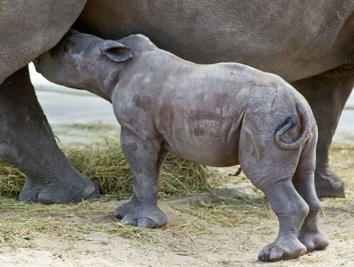 Rhino nurse