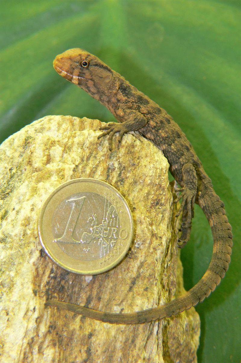 Krokodilschwanzhckerechsebaby