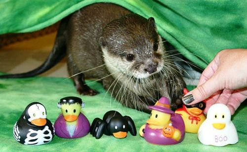a keen sense for decor and cosutme the group of playful asian smallclawed otters at the newport aquarium have been up to all kinds of