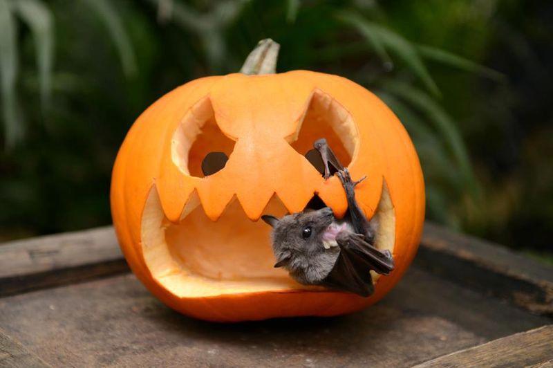 Hubertina fruit bat Paradise Wldlf pk