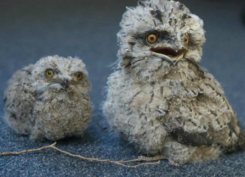 Tawny Frogmouth Chi