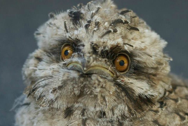 Tawny Frogmouth Chic
