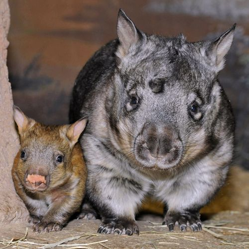 Brookfield-Zoo-Wombat-1