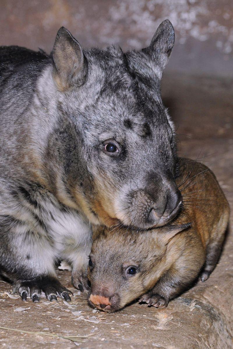 Brookfield-Zoo-Wombat-2
