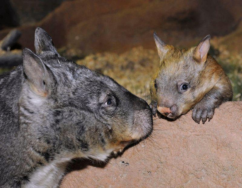 Brookfield-Zoo-Wombat-7
