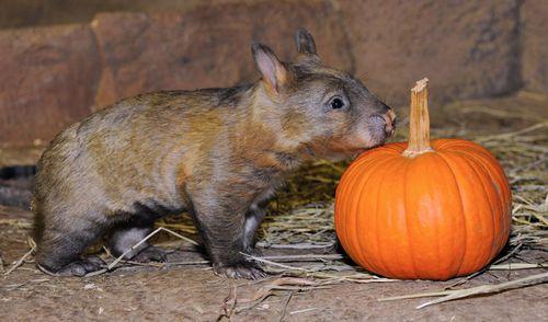 Brookfield-Zoo-Wombat-4