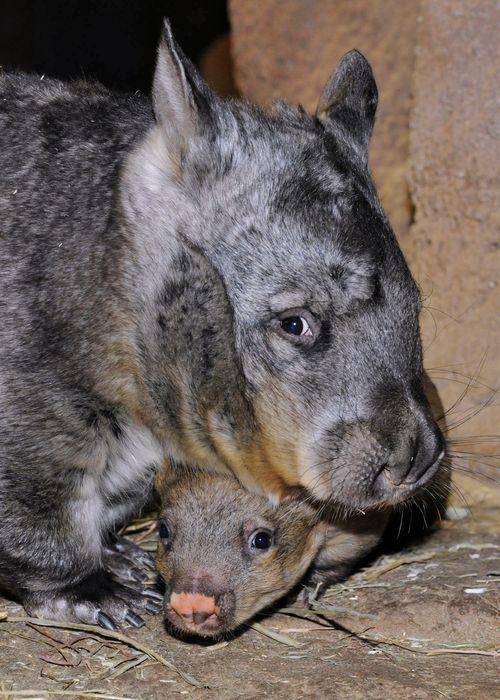 Brookfield-Zoo-Wombat-6