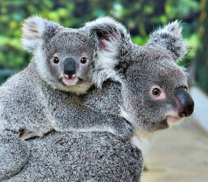 Closeup 1koala joey mother empress father flynn b nov 29 2011