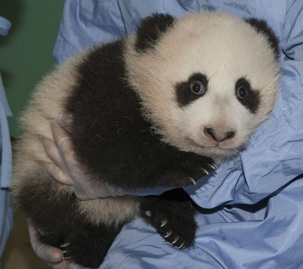 Update San Diego Zoo S Panda Cub Gets His Name And A Few