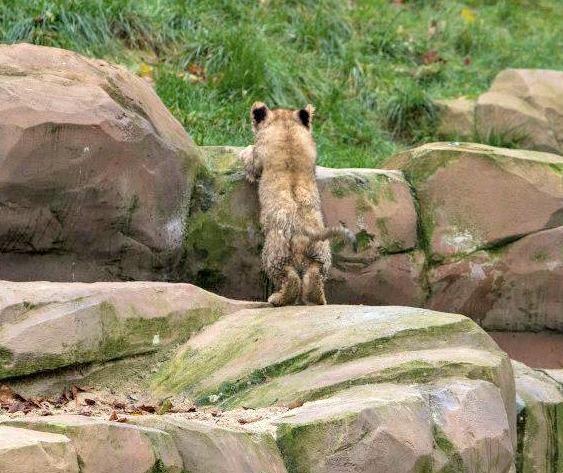 Cub Vs Stream An Update On Zoo Antwerp S Little Lion