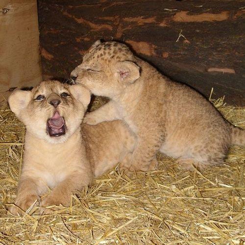 Bite cubs