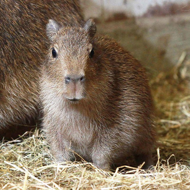 Belfast-Zoo-Capyba