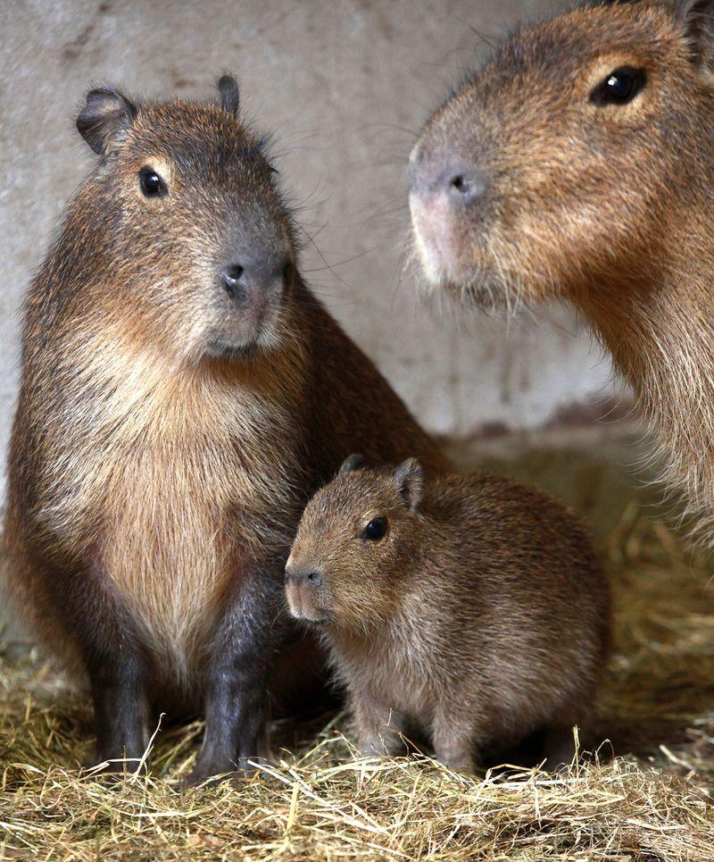 Belfast-Zoo-Capybara