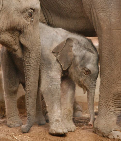 Chester-Zoo-Elephant-2012b