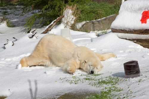 Last Month Santa Sent 10 Tons Of Fresh Snow To Help San Francisco Zoo Celebrate The Birthdays Franciscos Two Special Polar Bears Pike 30 And Ulu