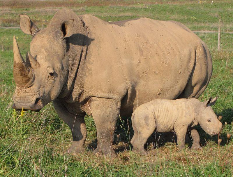 Southern-White-Rhino