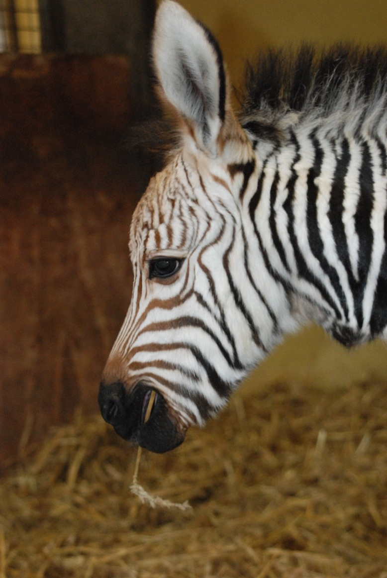 Zebra foal close up