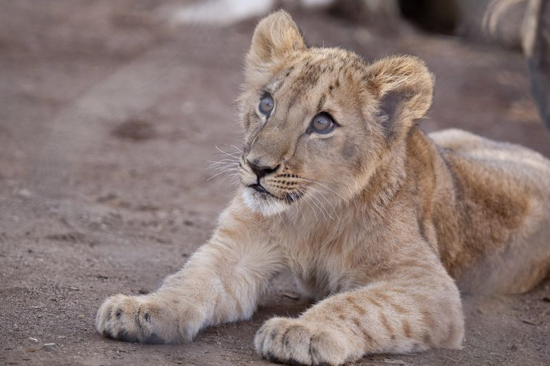 Qatar_lion_cubs03
