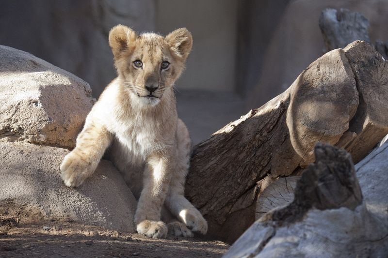 Qatar_lion_cubs04