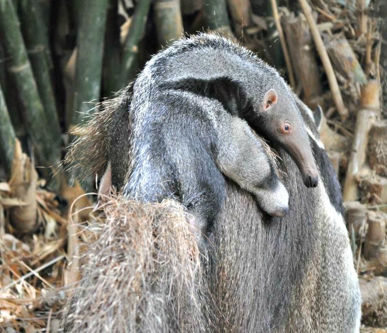 Anteater1