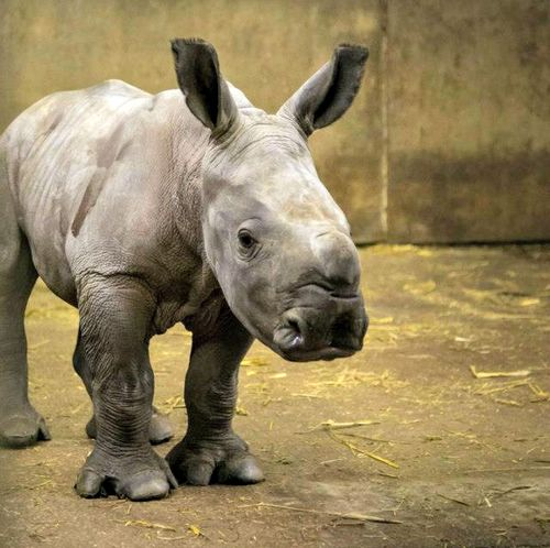 Rhino7