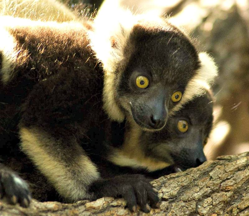 Lemur5