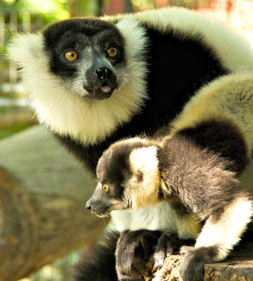 Lemur6