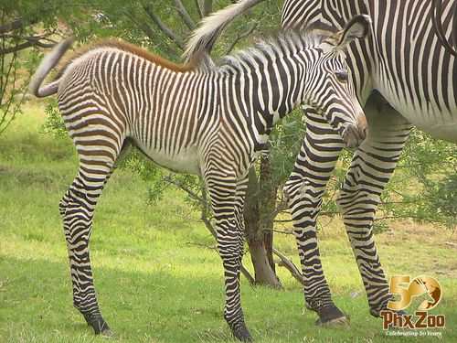Zebra-New-Born-Oct-2012-04