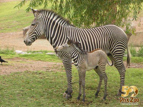 Zebra-New-Born-Oct-2012-05