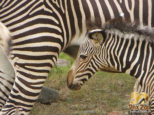 Zebra-New-Born-Oct-2012-02