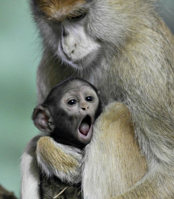 help name this baby patas monkey