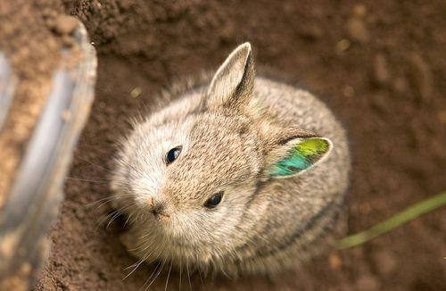 Pygmy-Rabbit