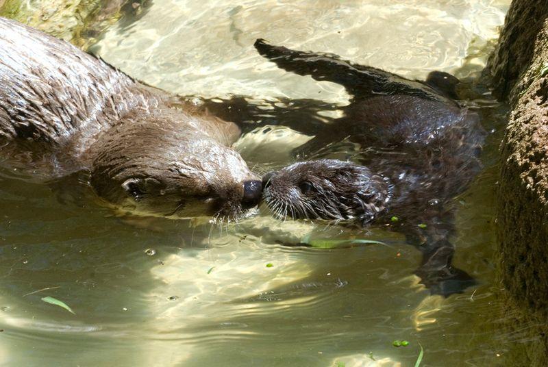 Baby-Otter-Swim-Lessons