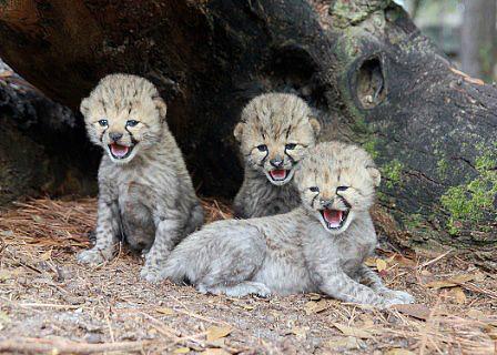 Cheetah 1