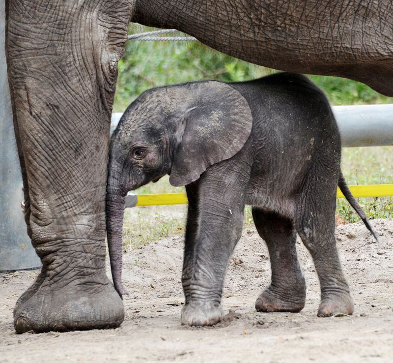 TLPZ-elephant-calf-2