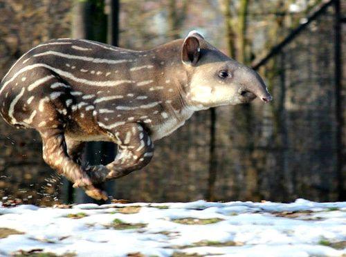Tapir 5