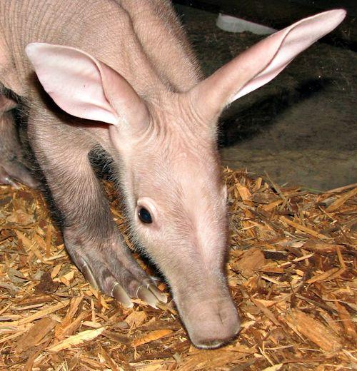 Aardvark 1