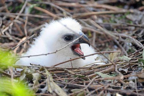 Zoo Miami Harpy Eagle Chick 2