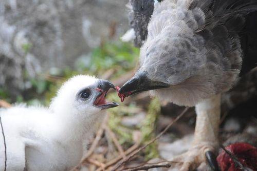 Zoo Miami Harpy Eagle Chick 4