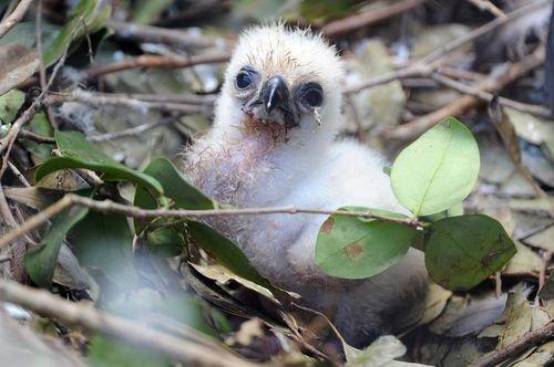 Zoo Miami Harpy Eagle Chick 7