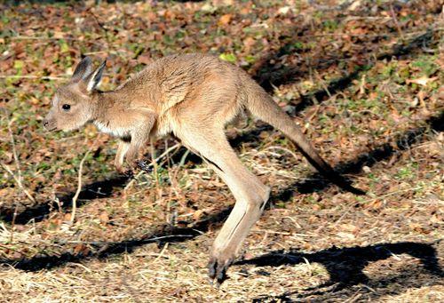Kangaroo Joey-5