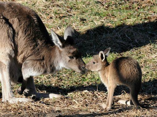 Kangaroo Joey-2