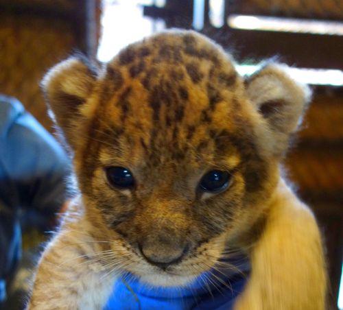 Lion face CU