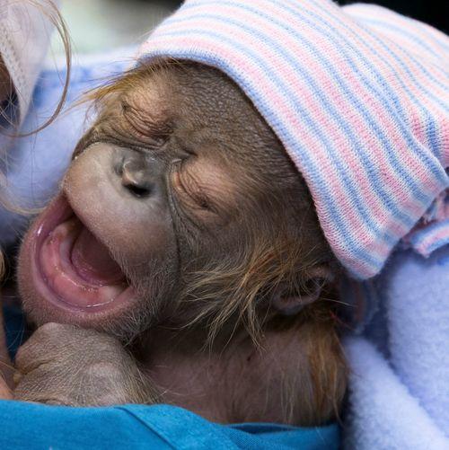Orangutan infant_full size